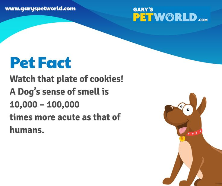 Watch that plate of cookies! A Dog's sense of smell is 10,000 - 100,000 times more acute as that of humans. #petfact #pets #petworldie