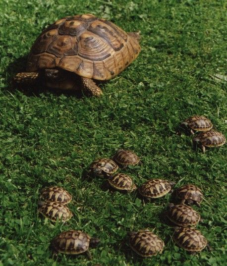 Tortoises | Where dealers and pet shops are offering tortoises described as 2 or 3 ...