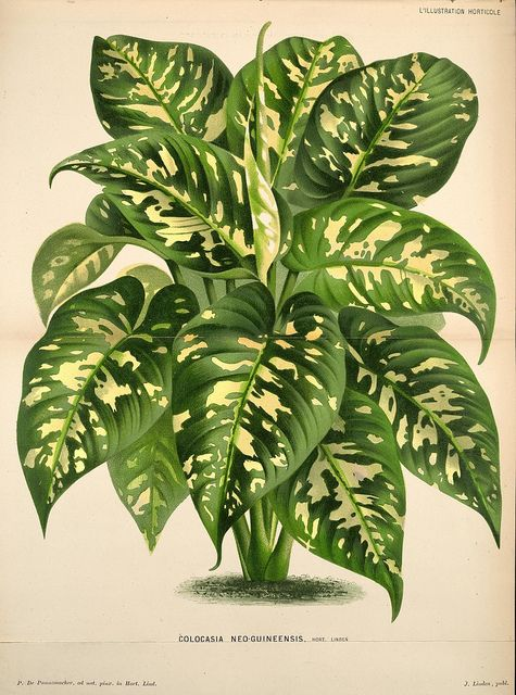 L'Illustration horticole :. Gand, Belgium :Imprimerie et lithographie de F. et E. Gyselnyck,1854-1896.. biodiversitylibrary.org/page/1594913...