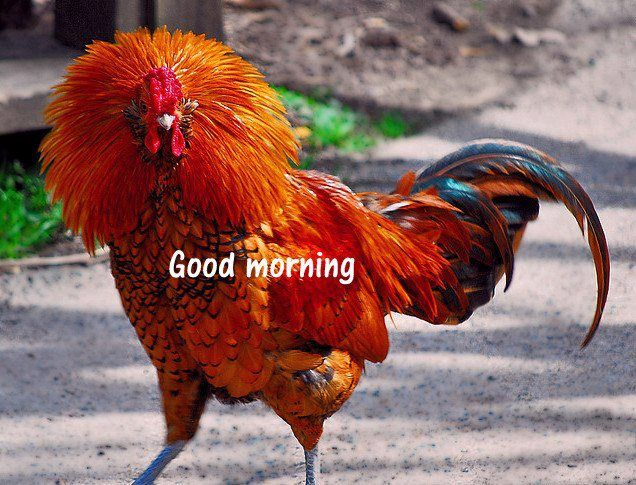 46 best 2nd grade Rooster art inspiration images on Pinterest