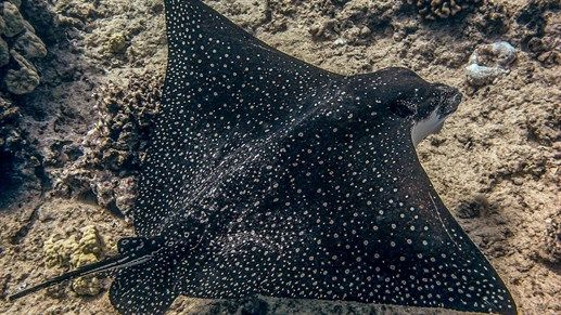 Spottet eagle ray in the waters of Hawaii #kilroy #diving #usa #wildlife