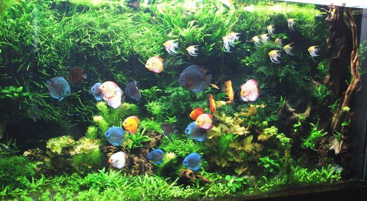 discus  planted aquarium and aquarium on pinterest