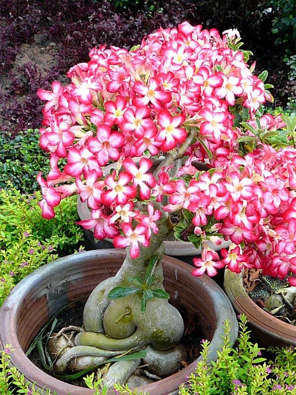 Adenium   only the coolest succulent ever.