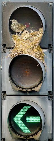 Afin d'établir son nid, cet oiseau a choisi un emplacement particulier: un feu de circulation de Beeston, dans la région de Leeds (Grande-Bretagne). Cette grive draine a amassé des petites branches et installé ses petits au niveau du feu rouge, et leur rapporte régulièrement de quoi se nourrir. Ce nid particulier a été photographié par Paul Green, immortalisant ce que les passants avaient déjà remarqué.