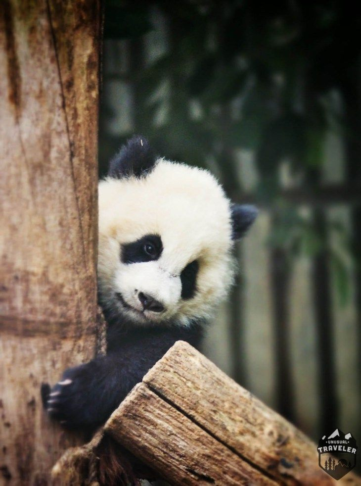 Panda,bear,china,cute,chengdu,sichuan