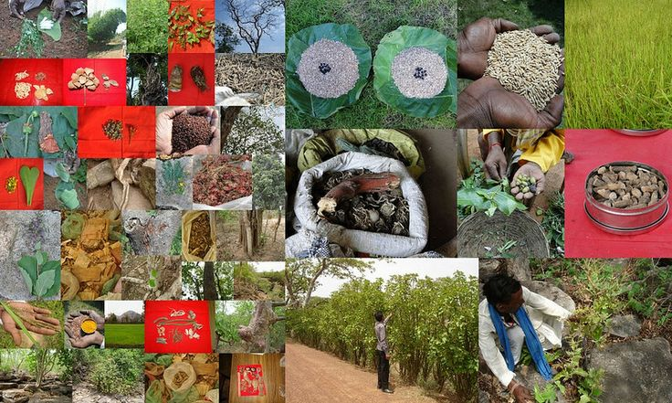 Medicinal Rice based Tribal Medicines for Diabetes Complications and Metabolic Disorders (TH Group-673) from Pankaj Oudhia's Medicinal Plant Database