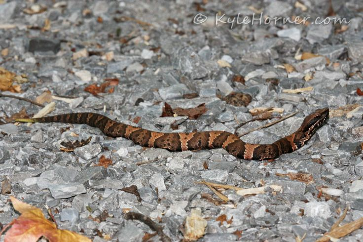 Baby Copperhead Snake Pictures Cottonmouth | Baby ...