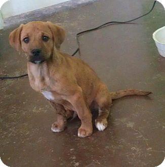 Australian Shepherd Boxer Mix Puppies | Australian Shepherd/Boxer Mix Puppy for Sale in Austin, Arkansas ...