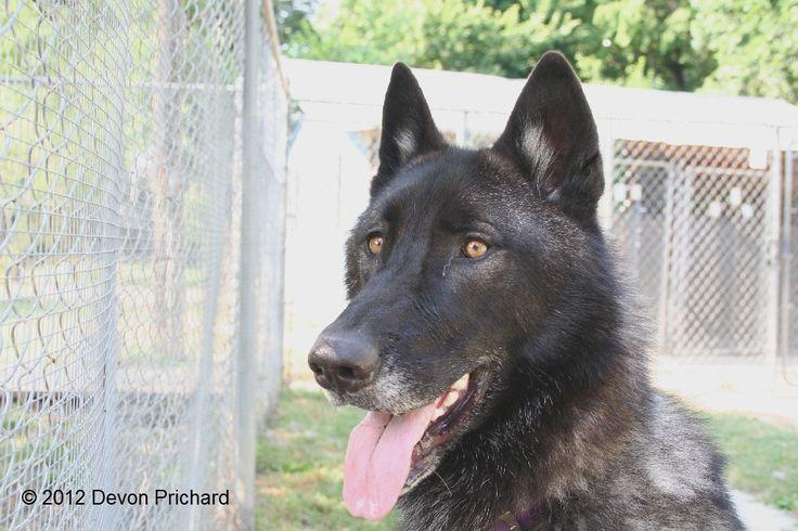 White German Shepherd Wolf Hybrid | Puppy Love | Pinterest ...