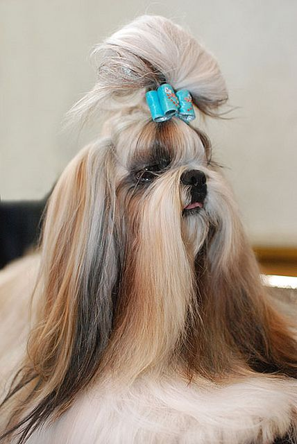 shitzu hair styles 25 best shih tzu hairstyles images on shih 8763 | a39c7399a10bc803da5ef638fe65eeee long hair lhasa apso