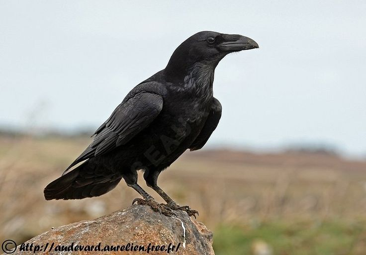 Grand Corbeau - Corvus corax                                                                                                                                                                                 Plus