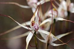 TWA-0012391 © WestPix Common Spider Orchid at Coorow. AUGUST 18 2015 Picture…