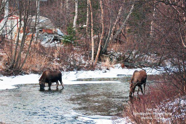Moose Car Accidents Anchorage
