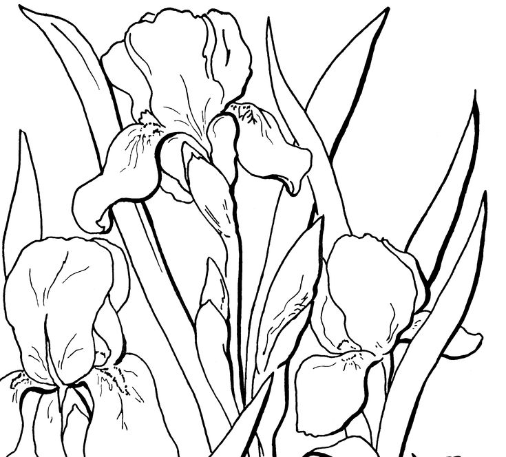 iris coloring pages - photo#35