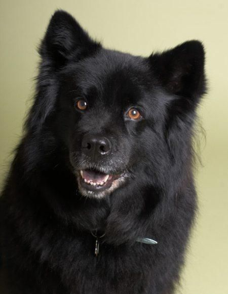 Lab Chow SCHipperke mix - Google Search...this looks like my old dog Chloe. . .she was so smart