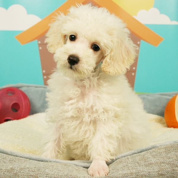 What A Pretty Poodle This Adorable Puppy Is Ready For Adoption