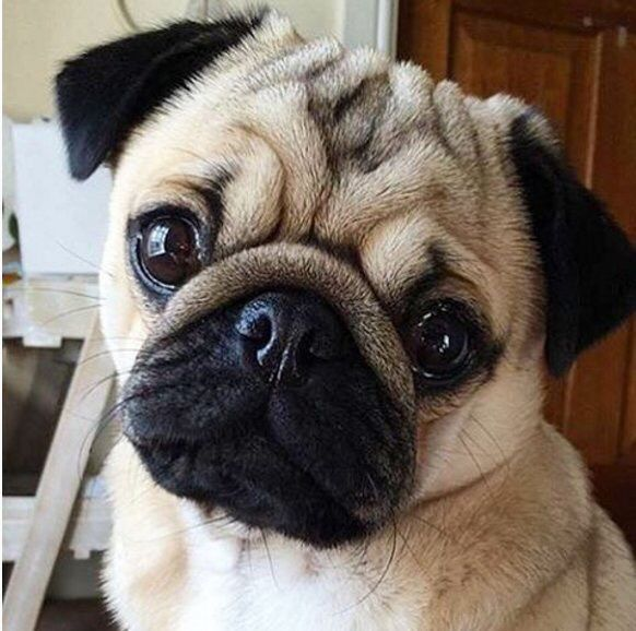 cute pug pics 25 best ideas about pugs on pinterest cute pug puppies 1325
