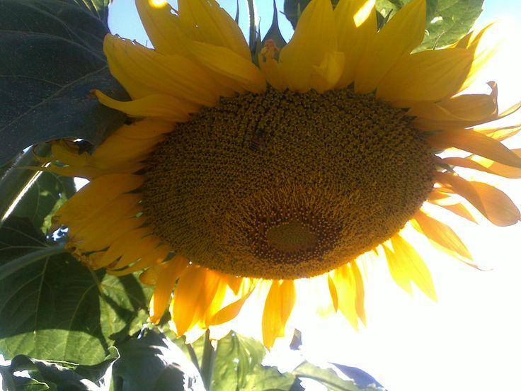 Big sunflower head
