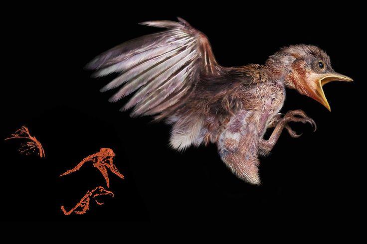 天然樹脂の化石である琥珀の中で、1億年前の恐竜全盛の時代を生きていた鳥の頭・首・翼・尾・足などが見つかりました。A mid-Cretaceous enantiornithine (Aves)
