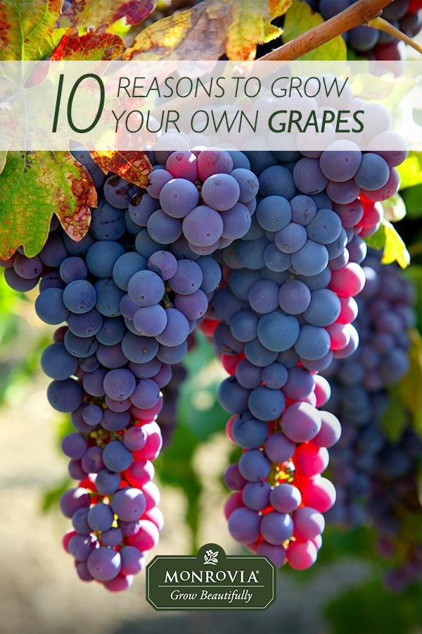 10 Reasons You Should Be Growing Grapes in Your Backyard. Ever daydreamed of picking huge clusters of sun-warmed, juicy grapes from your own backyard vines? Here are ten solid reasons to add these highly-productive and also decorative vines to your edible landscape this season.