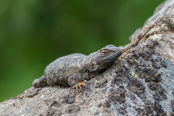 Western Fence Lizard from Montanas only known population