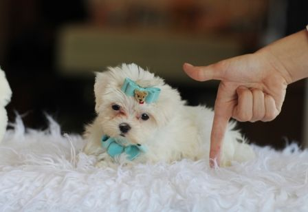 Teacup Maltese Puppies For Sale at Teacup Puppies Store