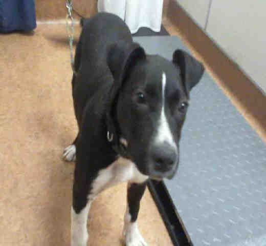 American Pit Bull Terrier dog for Adoption in Sacramento, CA. ADN-699247 on PuppyFinder.com Gender: Male. Age: Young #PitBull