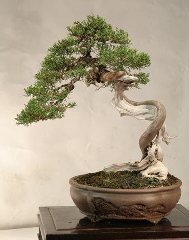 Juniper Bonsai Gallery Artist: Antoni Payeras  Juniperus phoenicia (Juniperus phoenicia 'thurbinatta')