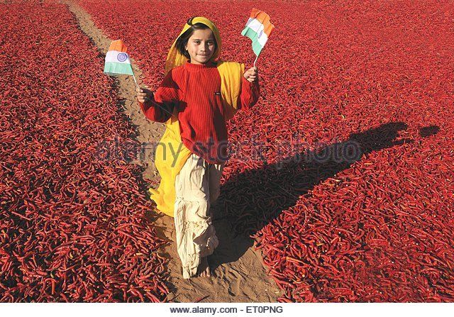 Girl holding national flag walking besides red chillies ; Mathania ; Jodhpur ; Rajasthan ; India NO MR - Stock Image