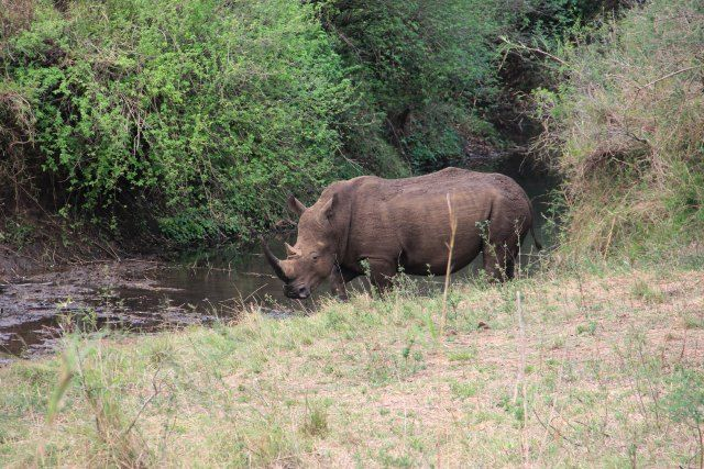A Rhino at the Hluhluwe-iMfolozi Park during an Ubizane organized game drive