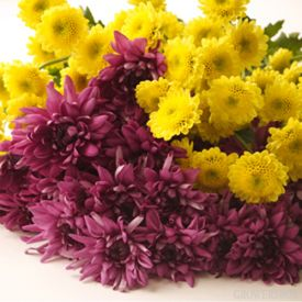 As we roll into fall, the unmistakable smell of Chrysanthemums will be filling the stores and flowerbeds of your neighborhood! Bring some of that iconic fall flair into your home with fresh cut pom poms from The Grower's Box! These long-lasting, hardy and beautiful flowers are a great way to decorate for fall weddings and events. Visit The Grower's Box online at www.growersbox.com for more information.Beautiful Flower, Wholesaling Flower, Boxes Online, Growers Boxes, Growersbox Com, Wedding Flower, Pom Pom, Fall Wedding, Purple Flower