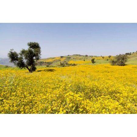 Flower Field Niger seed Semien Mountains Ethiopia Canvas Art - Martin Zwick DanitaDelimont (38 x 25)