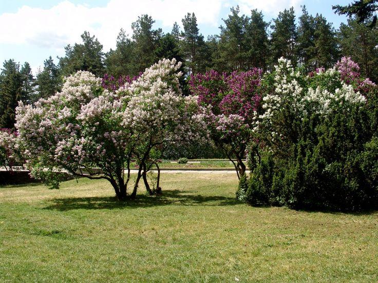 Arbustos de lilas en flor LB
