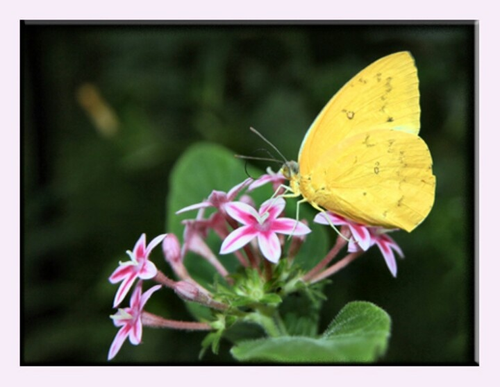 Yellow Butterfly on Lilly | Something • Yellow | Pinterest