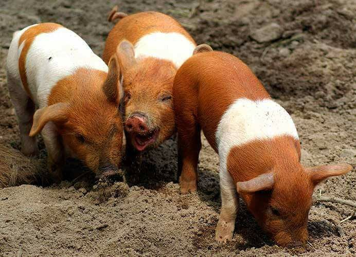 17 Best Maxwell The Geico Pig Images On Pinterest Little