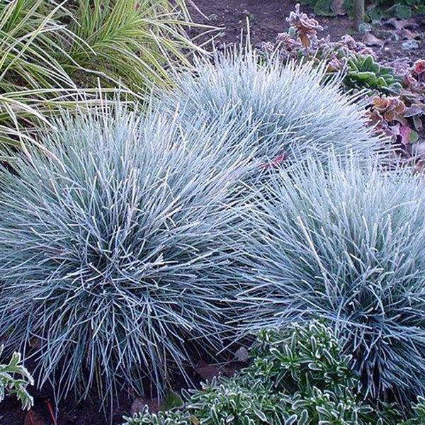 100Pcs Blue Fescue Grass Seeds Perennial Hardy Ornamental Grass Home Garden