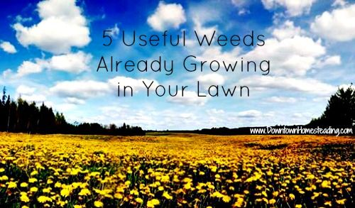 5 Useful Weeds Already Growing in Your Lawn