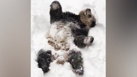 Tian Tian, one of the giant pandas at Smithsonian's National Zoo, woke up to snow and was pretty excited about it.