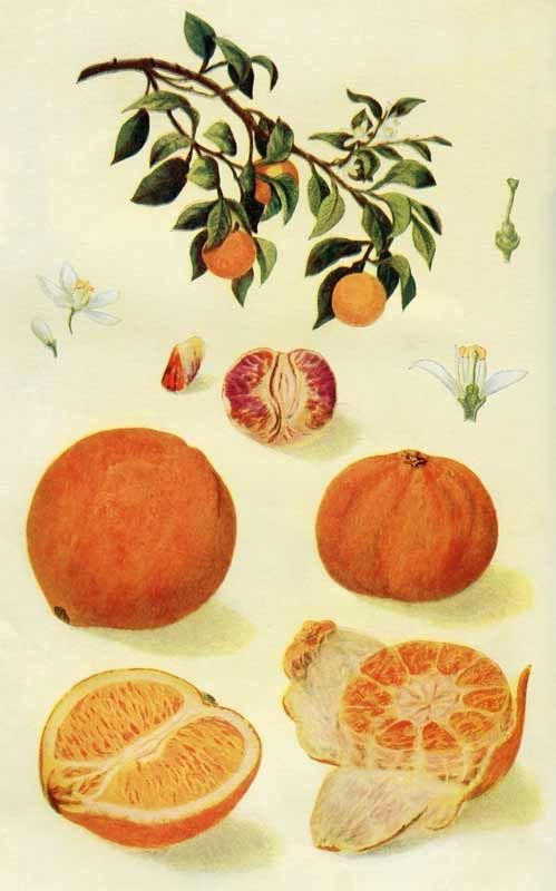 Vintage Botanical Print of Oranges & an Orange Tree – Click for larger color plate @ Vintage Fangirl