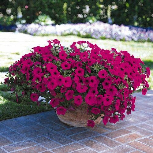 Petúnias: aprecia a frio, sua floração inicia-se no final do inverno até a primavera. Necessita de solo fértil, sol pleno e irrigações regulares. Pode ser plantada em bordaduras, maciços e vasos.
