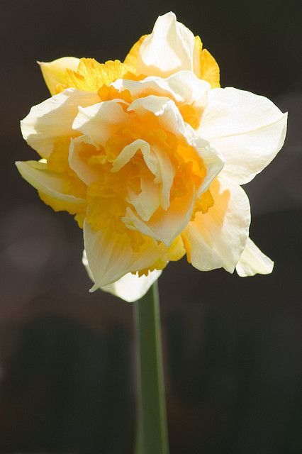 Narcissus, Daffodil (Ice King), via Flickr.