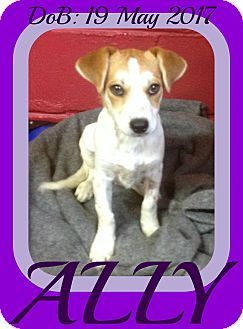 White River Junction, VT - Brittany/Dachshund Mix. Meet ALLY, a puppy for adoption. http://www.adoptapet.com/pet/18746970-white-river-junction-vermont-brittany-mix