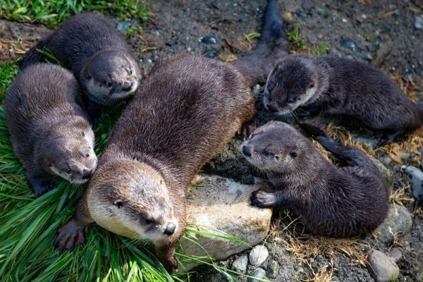 Woodland Park Zoo S Otter Pups Have Names Otter Pup Woodland Park Zoo Otters