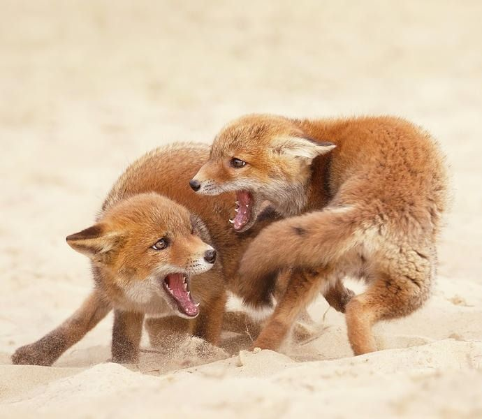 Playfighting Red Fox Kits by © Roeselien Raimond