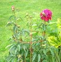 Rose / Peony Cones