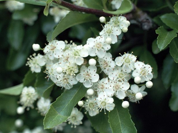 The firethorn is a spiny evergreen with white flowers and for White flowering bush