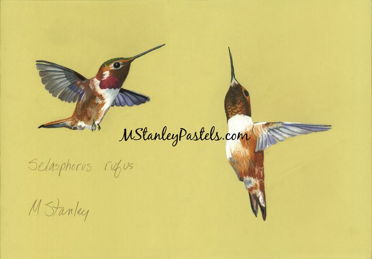 Pastel drawing of the hummingbird Selasphorus platycerus. Wish to purchase it? Please go to http://www.etsy.com/shop/mstanleypastels