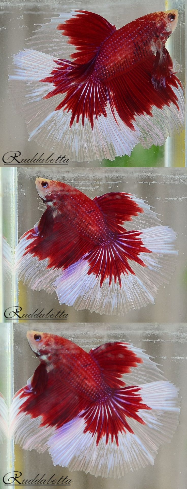 84 best Bettas: red images on Pinterest | Betta, Betta fish and Fish ...