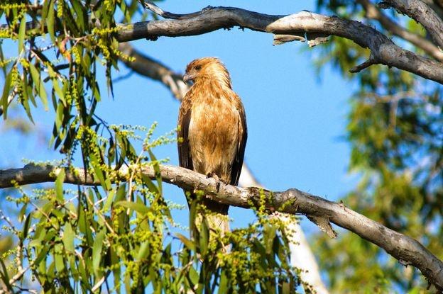 Whistling Kite - yarrawonga 2012