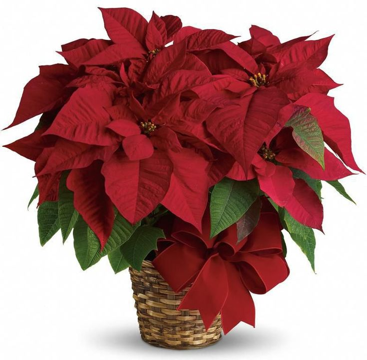 Tips for the care of Holiday Poinsettia plants from Phoenix Flower Shops.